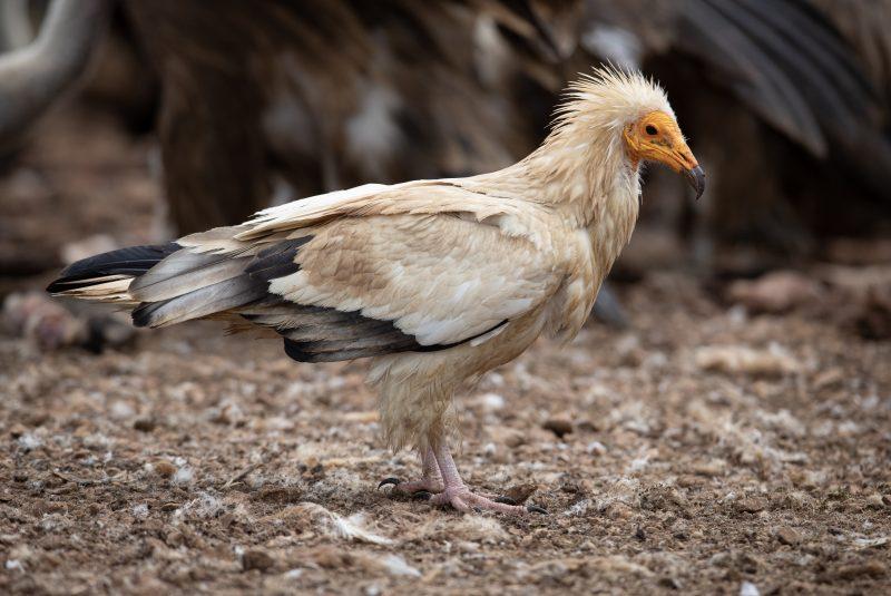 Photo vautour percnoptère d'Égypte. Un oiseau migrateur fréquentant les montagnes des Pyrénées