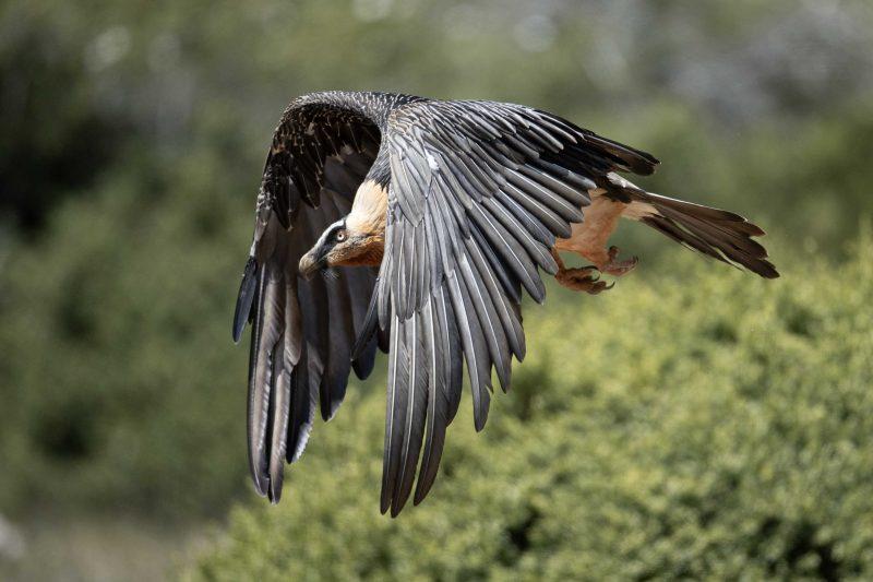 Photo Gypaète barbu sauvage battant des ailes majestueusement