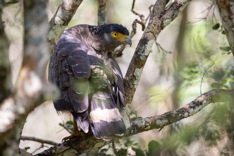 Photo rapace serpentaire de bacha. Un oiseau mangeur de serpents Sri Lanka