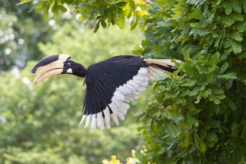 Oiseau sauvage avec un gros bec jaune et des plumes noire et blanche. Ses ailes toutes déployées, il sort du feuillage vert de la jungle.