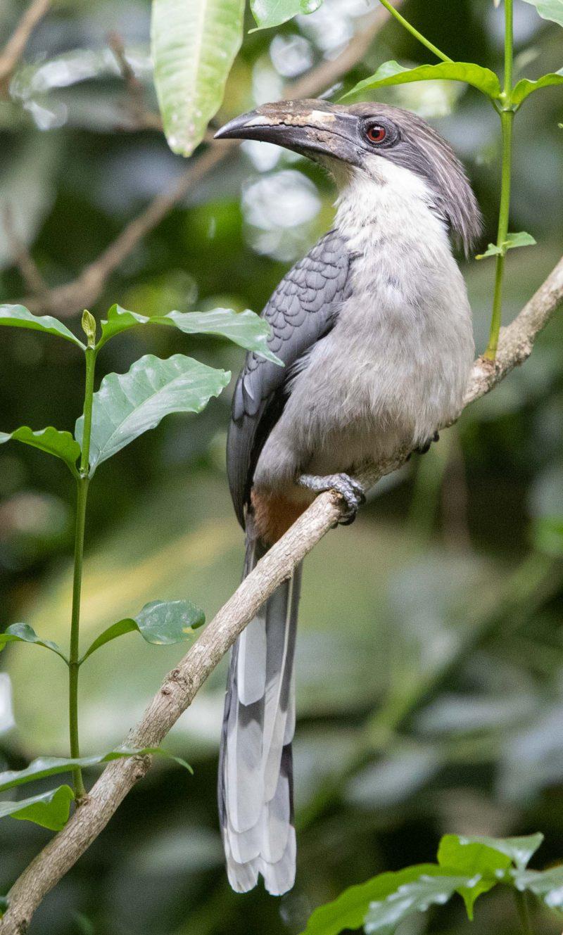 Oiseau aux plumes grises et à l'œil rouge sur une branche dans la jungle tropicale du Sri Lanka