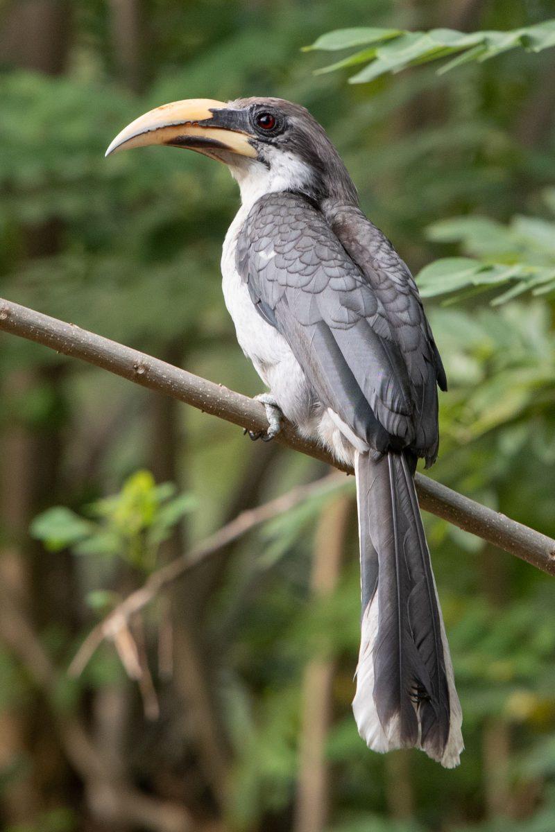 Un oiseau gris avec son grand bec jaune endémique du Sri Lanka sur une branche dans la jungle sauvage.