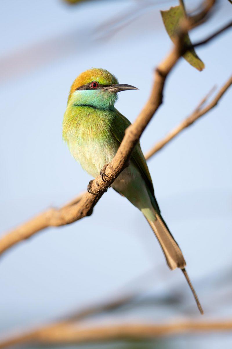 Posé sur sa branche, un oiseau sauvage à l'œil rouge et aux plumes colorées.
