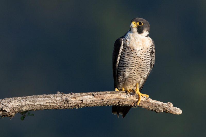 Oiseau aux serres acérées et au plumage tacheté, perché sur une branche baignant dans une lumière douce du matin
