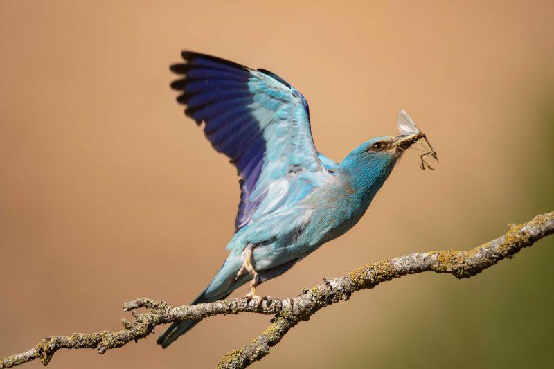 Magnifique oiseau bleu en mouvement, le Rollier d'Europe chasse des insectes