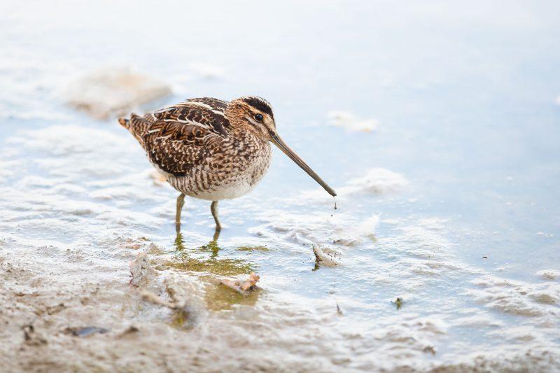 Photo Bécassine des marais, un petit oiseau au long bec se nourrissant dans la vase